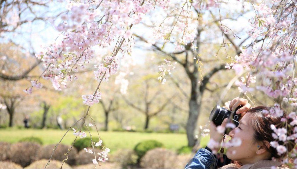 Jenis Sakura